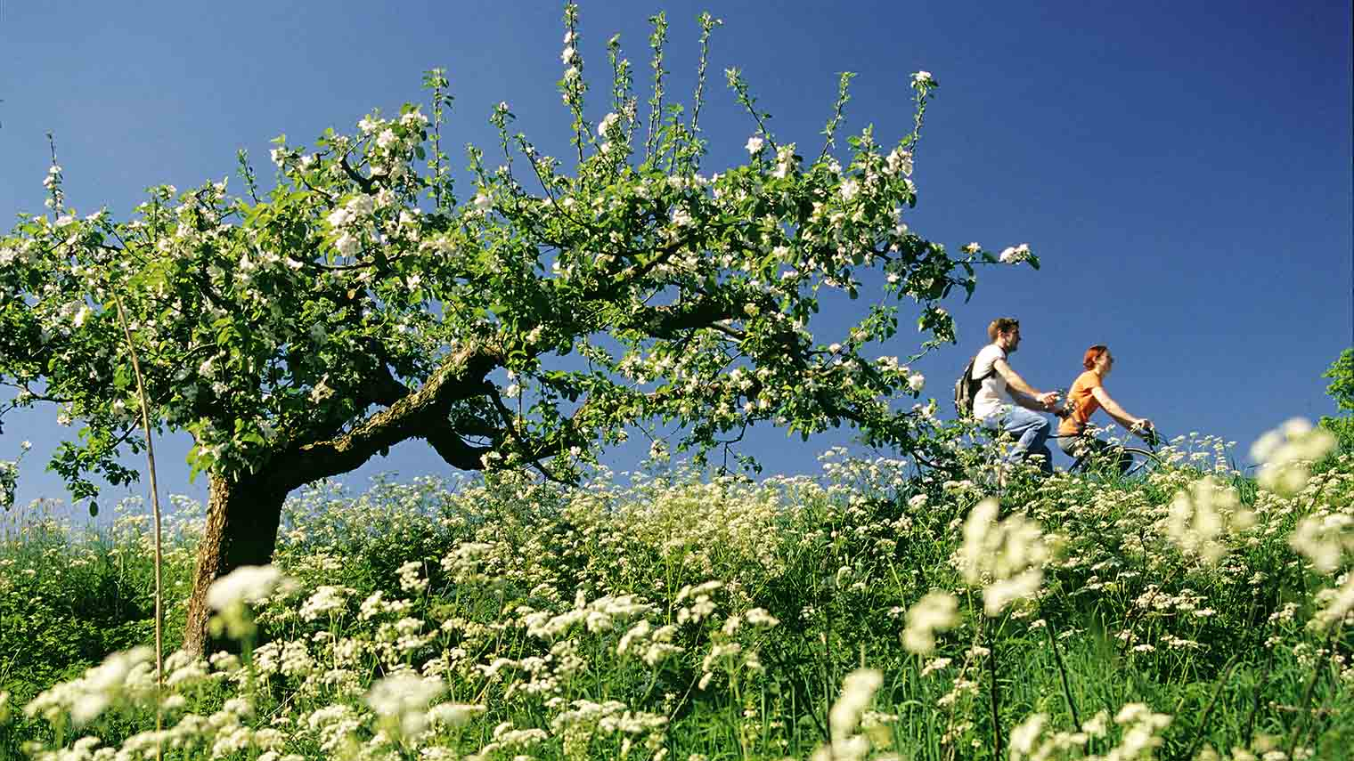 Netherlands, Tricht. Cyclist passing a blossom tree on a dyke along the Linge river.